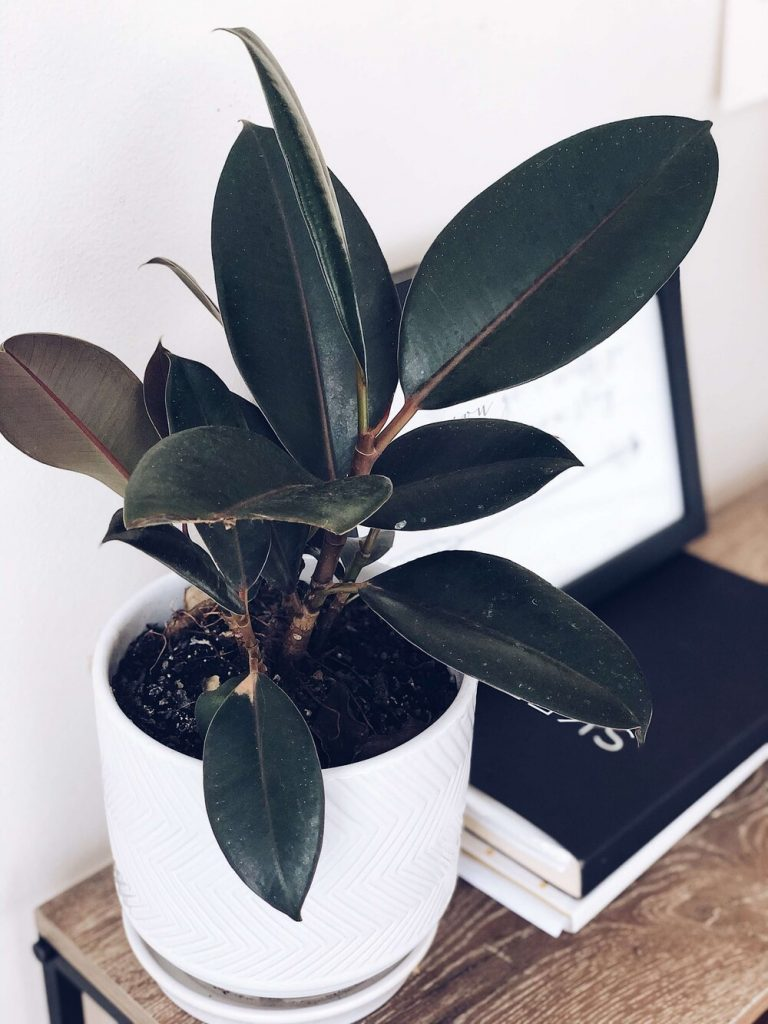 photo of a rubber plant